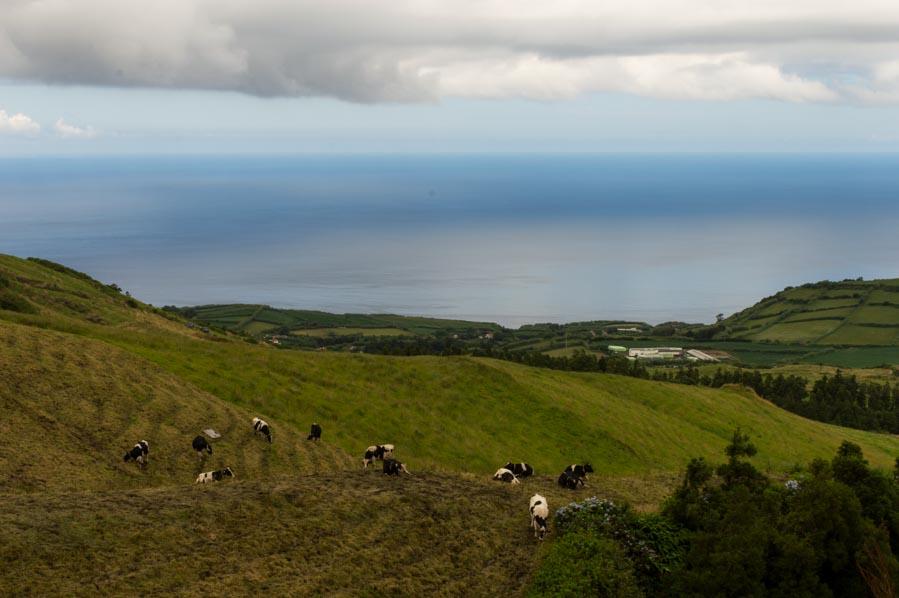 Las vacas pastan libres en San Miguel, Azores